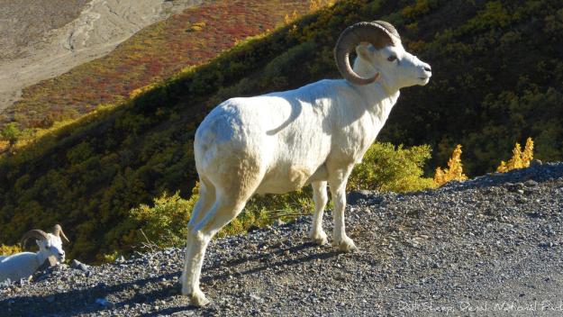 Featured Photo 5: Alaskan Mountain Goat