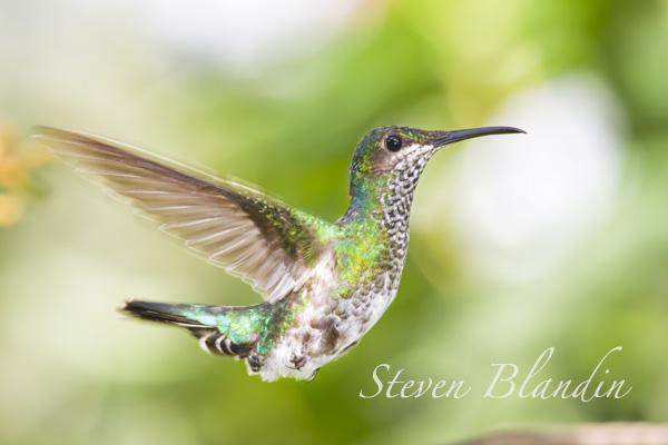 White-necked Jacobin Hummingbird - Ecuador