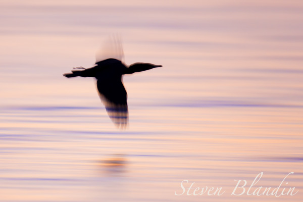 Double crested Cormorant silhouette in flight